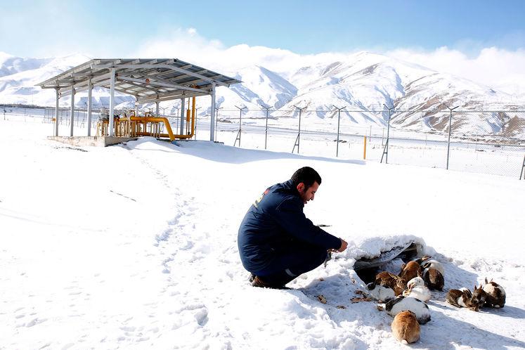 خرگوشها در انبوهی از سپیدی برف دور خرده نانهایی که یکی از کارکنان ایستگاه تقلیل فشار گاز سیلوانا برایشان ریخته است جمع شدهاند.